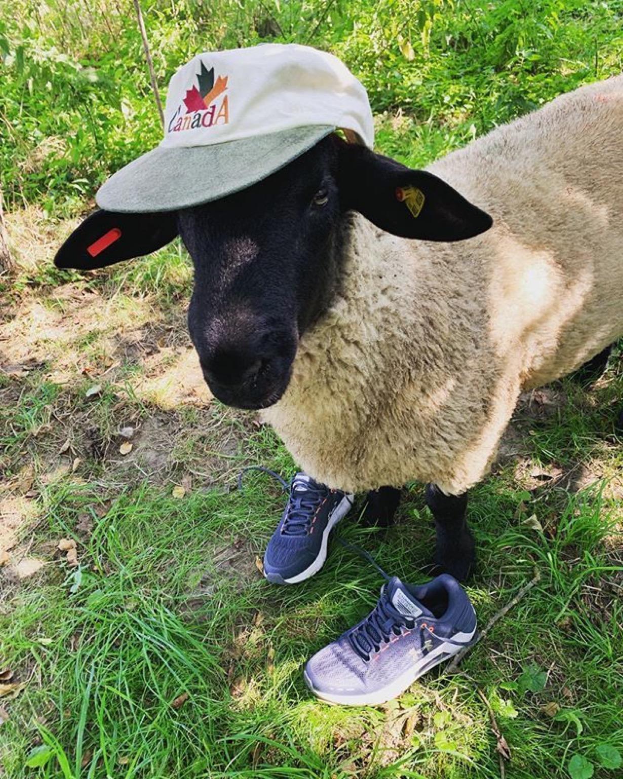 Schaf in Haseldorf