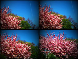 Japanische Kirschblüten in der Kattunbleiche